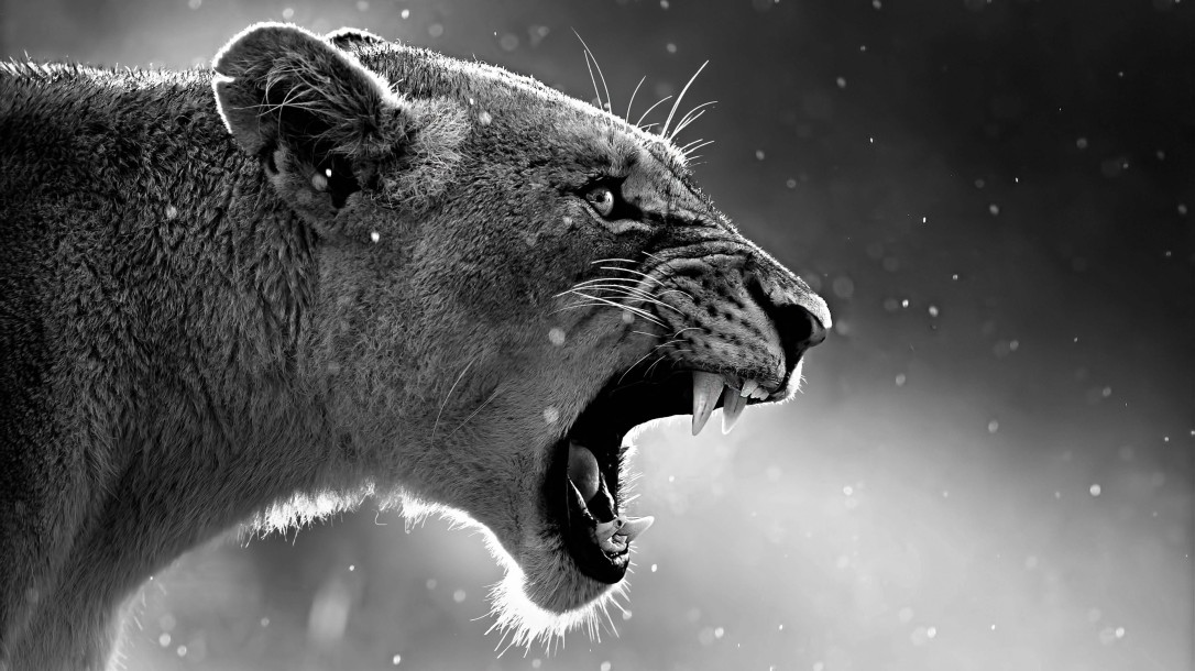 lion-roaring