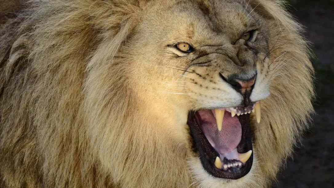 pictures-of-a-roaring-lion-wallpaper